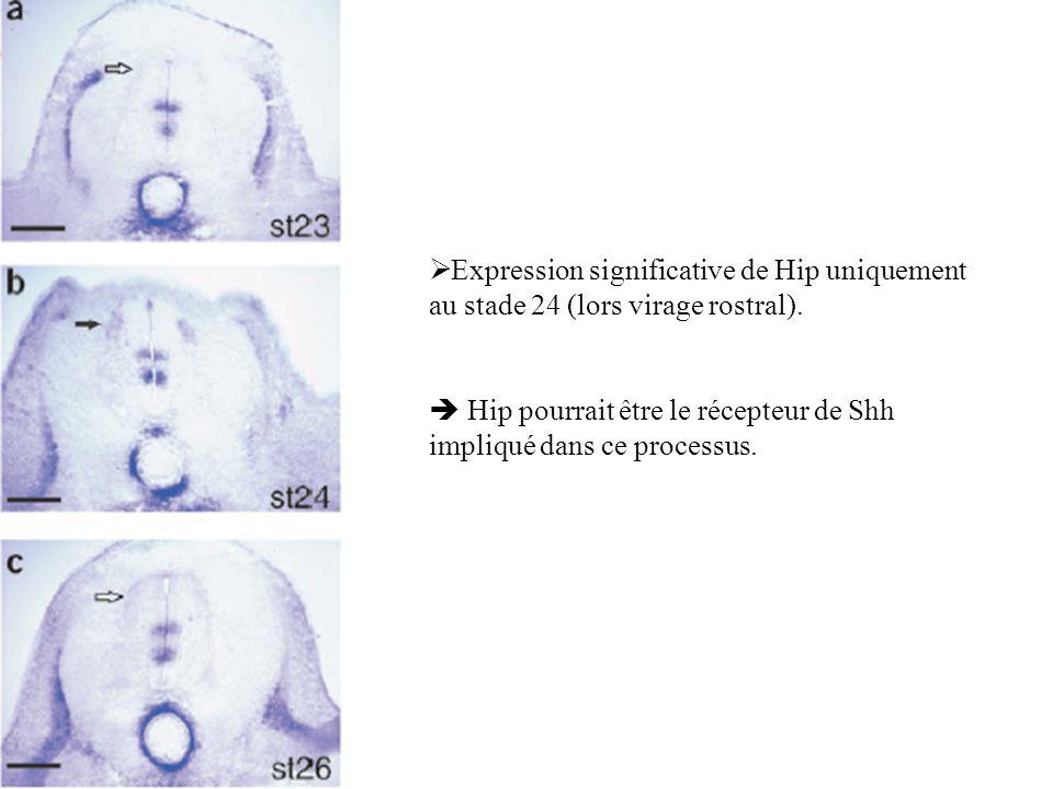 Expression significative de Hip uniquement au stade 24 (lors virage rostral). Hip pourrait être le récepteur de Shh impliqué dans ce processus.
