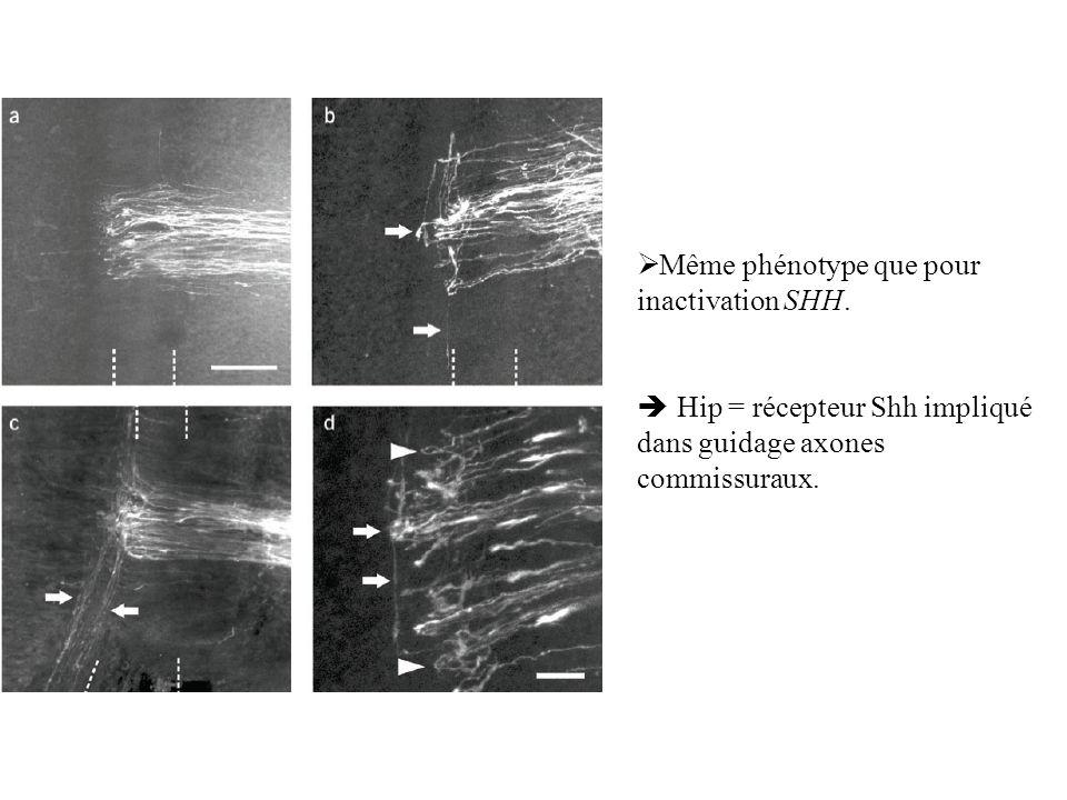 Même phénotype que pour inactivation SHH. Hip = récepteur Shh impliqué dans guidage axones commissuraux.