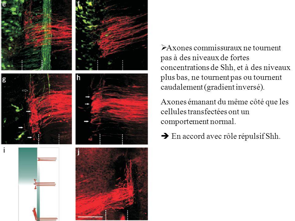 Axones commissuraux ne tournent pas à des niveaux de fortes concentrations de Shh, et à des niveaux plus bas, ne tournent pas ou tournent caudalement