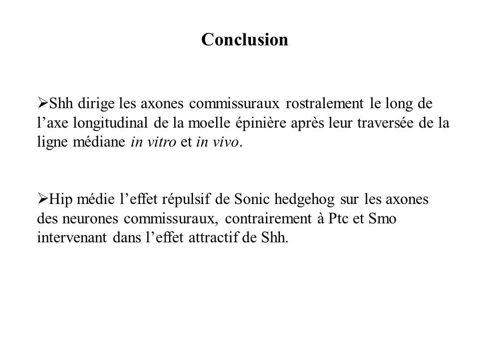 Conclusion Shh dirige les axones commissuraux rostralement le long de laxe longitudinal de la moelle épinière après leur traversée de la ligne médiane