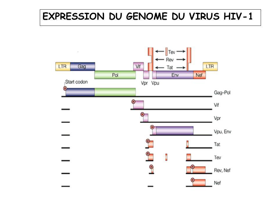 EXPRESSION DU GENOME DU VIRUS HIV-1