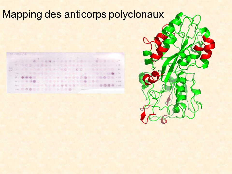 Mapping des anticorps polyclonaux