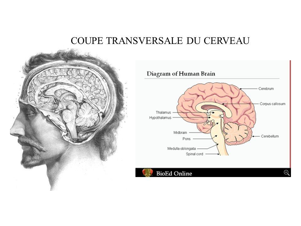 Les structures nerveuses sont constituées de 2 types cellulaires: Les neurones et les cellules gliales.