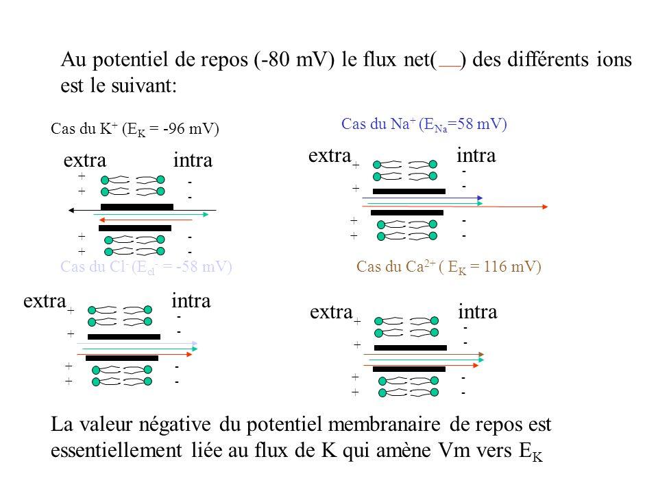 Au potentiel de repos (-80 mV) le flux net( ) des différents ions est le suivant: intraextra ++++ ++++ ---- ---- Cas du K + (E K = -96 mV) Cas du Na +