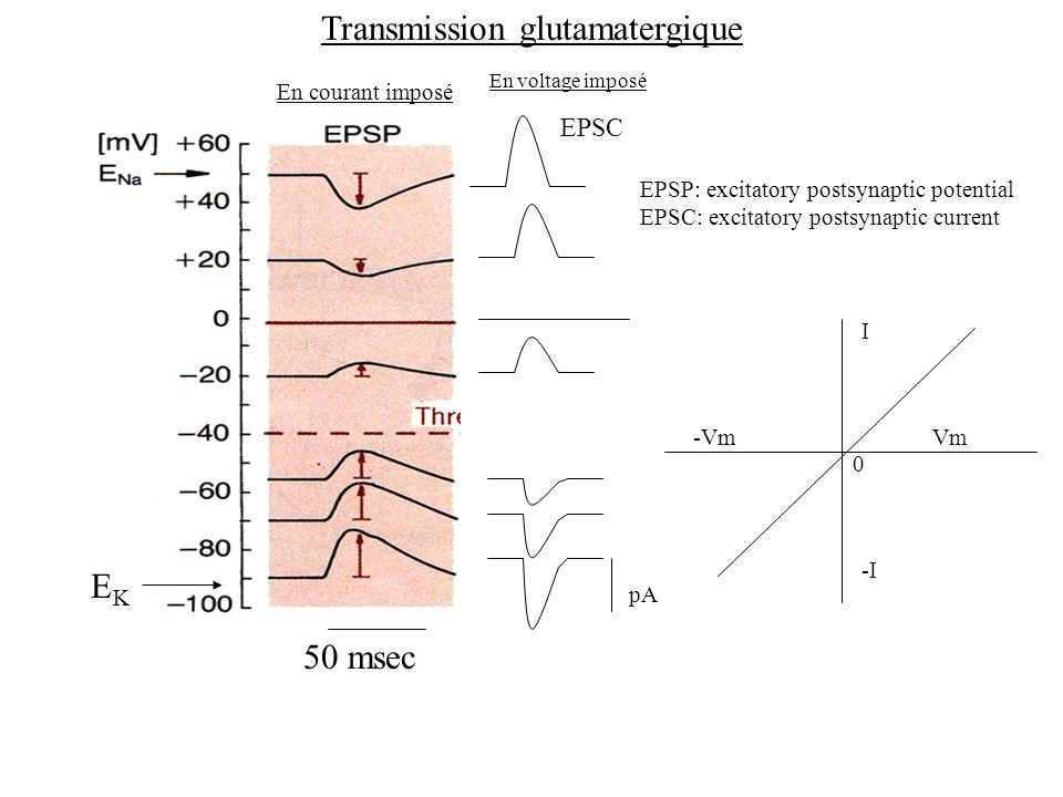 Transmission glutamatergique En courant imposé EPSP: excitatory postsynaptic potential EPSC: excitatory postsynaptic current En voltage imposé 50 msec