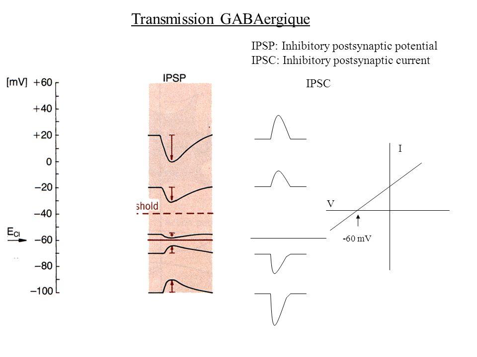 Transmission GABAergique IPSP: Inhibitory postsynaptic potential IPSC: Inhibitory postsynaptic current IPSC -60 mV V I