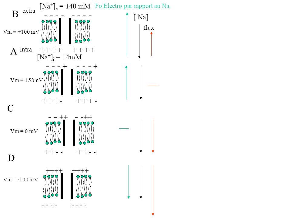 Vm = +100 mV extra intra Vm = +58mV - - - - + + + + - - - + + + + - - - ++ + + - - Vm = 0 mV ++++ - - - - Vm = -100 mV A C D Fo.Electro par rapport au