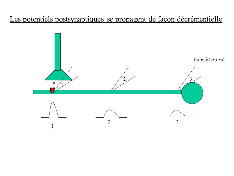 Les potentiels postsynaptiques se propagent de façon décrémentielle Enregistrement 1 23 1 23