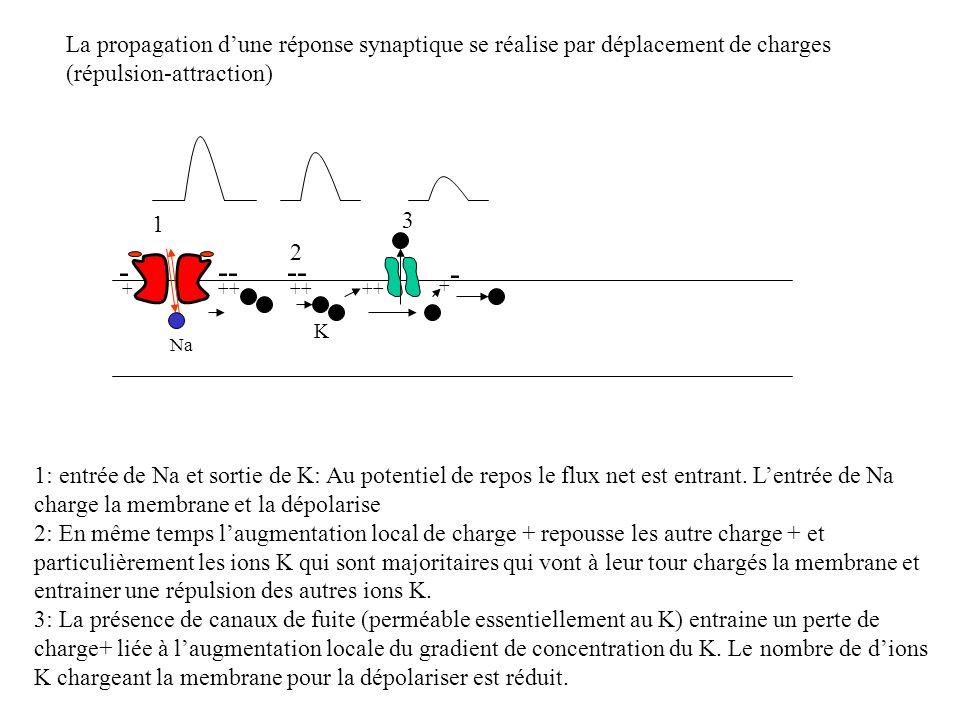 La propagation dune réponse synaptique se réalise par déplacement de charges (répulsion-attraction) +++ 1 1: entrée de Na et sortie de K: Au potentiel