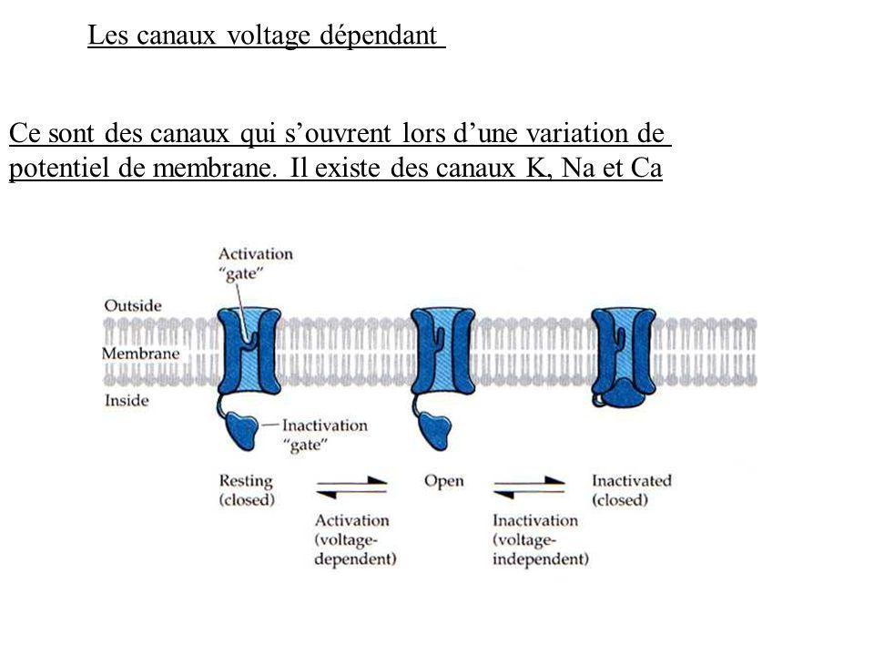 Les canaux voltage dépendant Ce sont des canaux qui souvrent lors dune variation de potentiel de membrane. Il existe des canaux K, Na et Ca