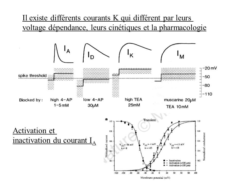 Il existe différents courants K qui différent par leurs voltage dépendance, leurs cinétiques et la pharmacologie Activation et inactivation du courant