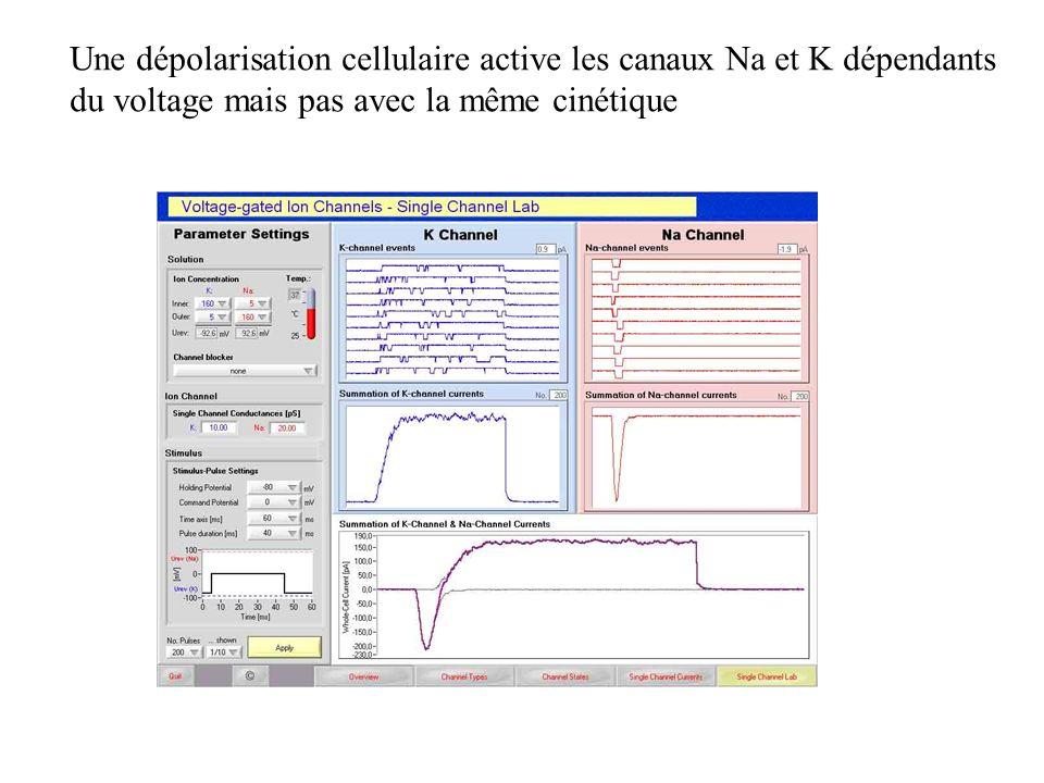 Une dépolarisation cellulaire active les canaux Na et K dépendants du voltage mais pas avec la même cinétique