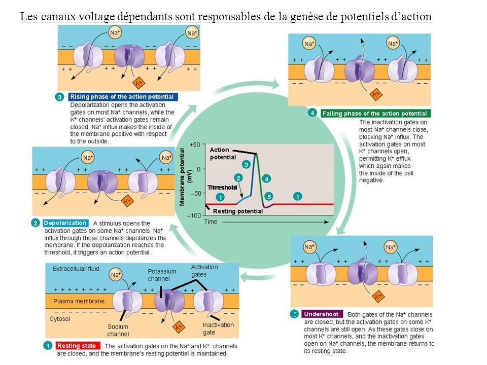 Les canaux voltage dépendants sont responsables de la genèse de potentiels daction