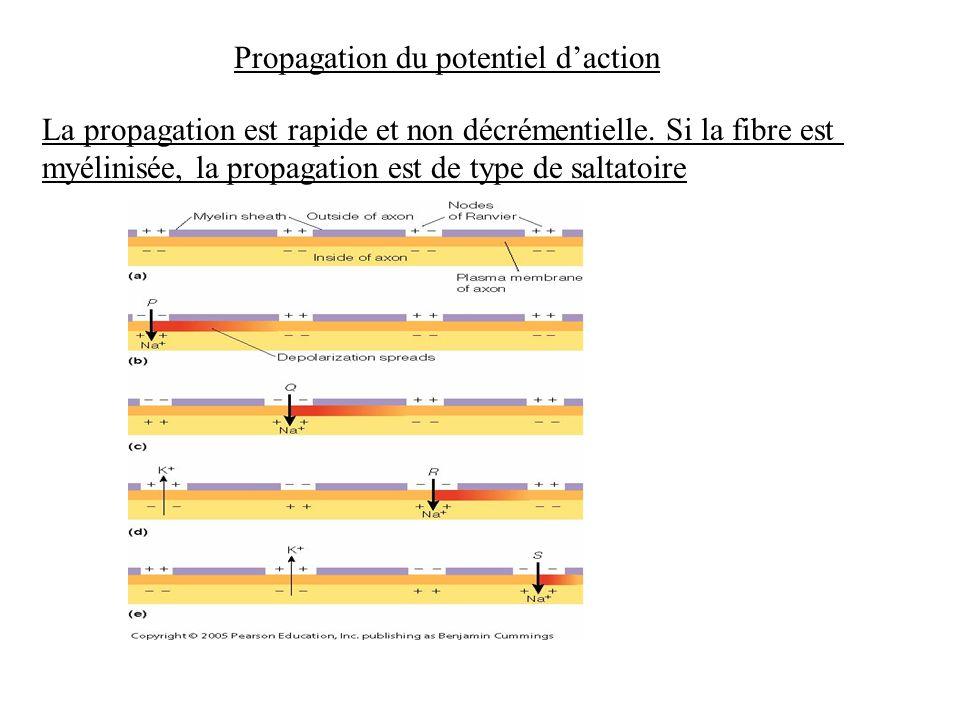 Propagation du potentiel daction La propagation est rapide et non décrémentielle. Si la fibre est myélinisée, la propagation est de type de saltatoire