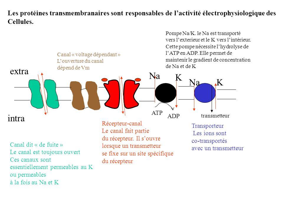 Les protéines transmembranaires sont responsables de lactivité électrophysiologique des Cellules. Canal dit « de fuite » Le canal est toujours ouvert