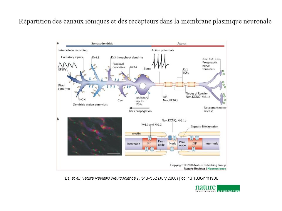 Répartition des canaux ioniques et des récepteurs dans la membrane plasmique neuronale
