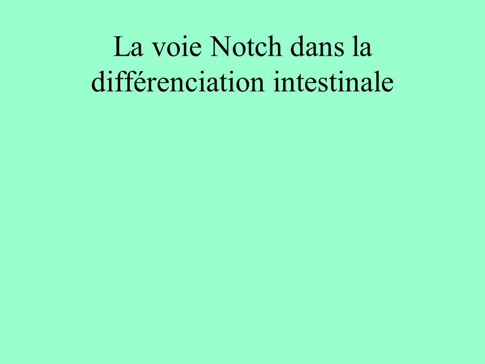 Notch et facteurs de transcription wtNotch Lexpression constitutive de Notch entraîne: la surexpression de Hes-1, la sous-expression de Math-1 et la sous-expression de Ngn3 hes1 Math1 ngn3