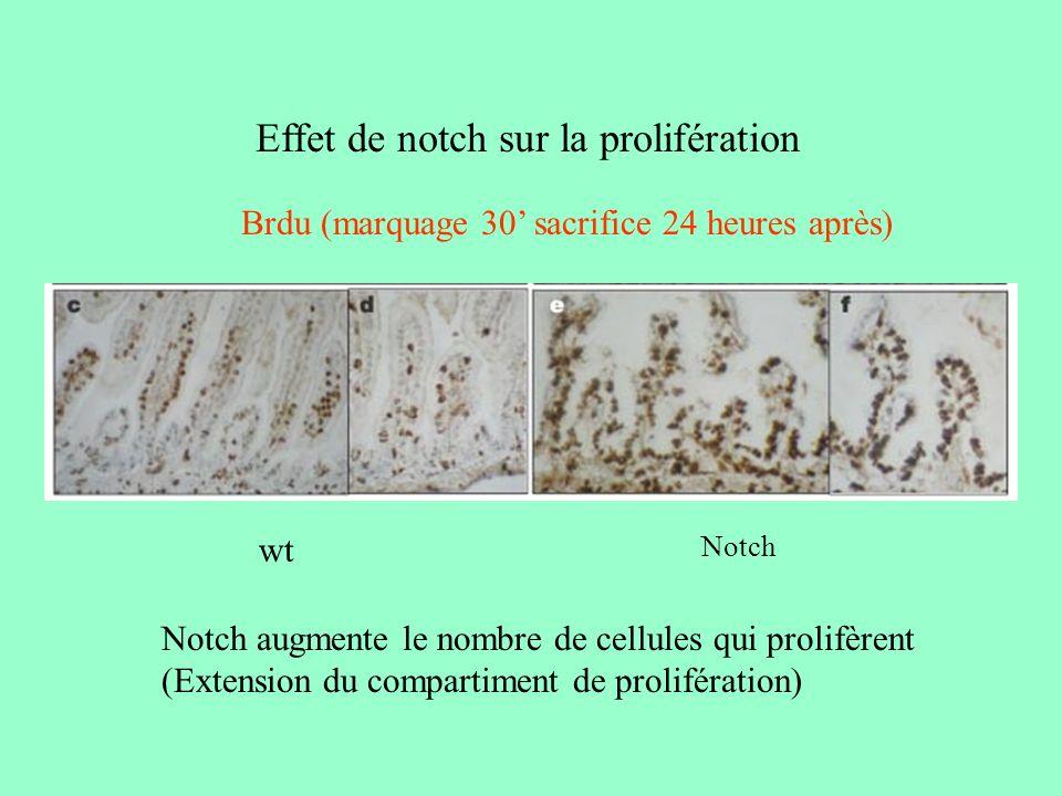 Effet de notch sur la prolifération Selon le contexte cellulaire, la signalisation Notch peut influencer la prolifération cellulaire.