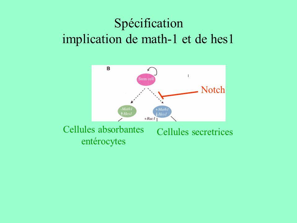 Différenciation et microenvironnement Matrice extracellulaire