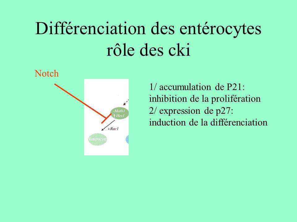 LE TRI Rester dans les cryptes (cellules de paneth) Migrer Hes-1 EphB + Wnt +