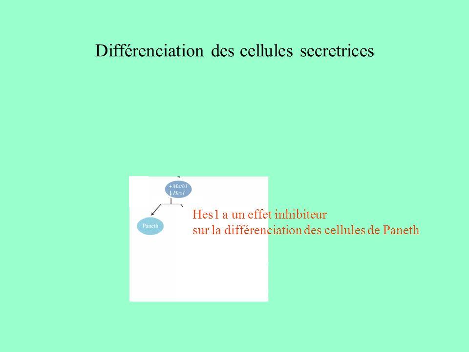Différenciation des cellules secretrices cellules enteroendocrines ngn3 Notch