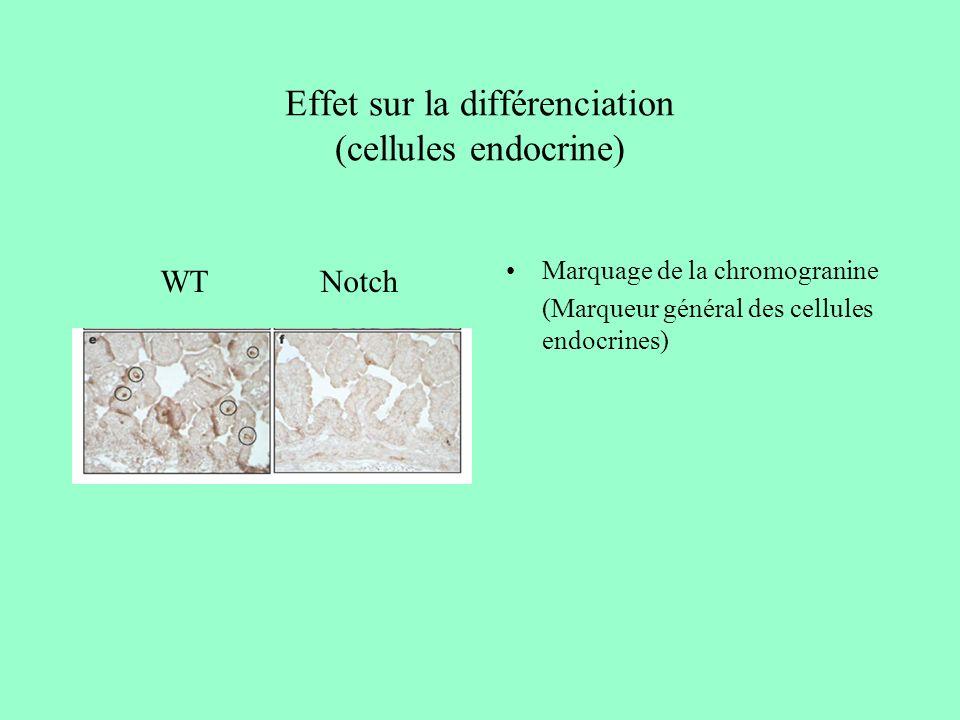 Effet sur la différenciation (cellules endocrine) Marquage de la chromogranine (Marqueur général des cellules endocrines) WTNotch