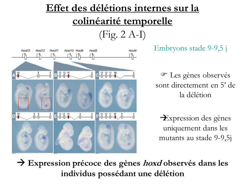 Embryons stade 9-9,5 j Les gènes observés sont directement en 5 de la délétion Expression des gènes uniquement dans les mutants au stade 9-9,5j Expres
