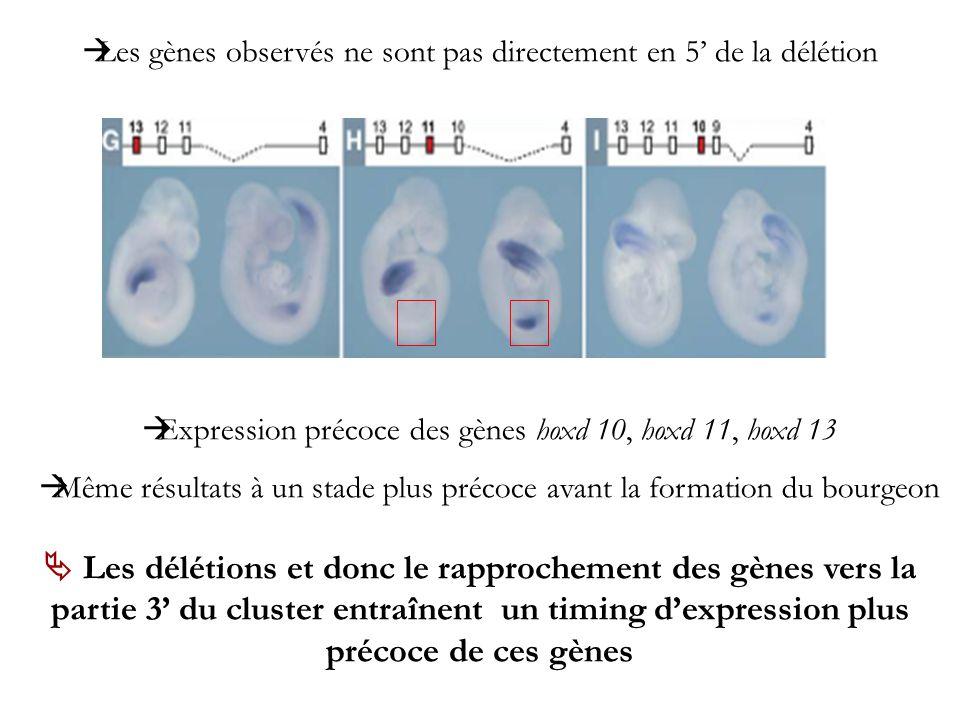 Expression précoce des gènes hoxd 10, hoxd 11, hoxd 13 Même résultats à un stade plus précoce avant la formation du bourgeon Les délétions et donc le