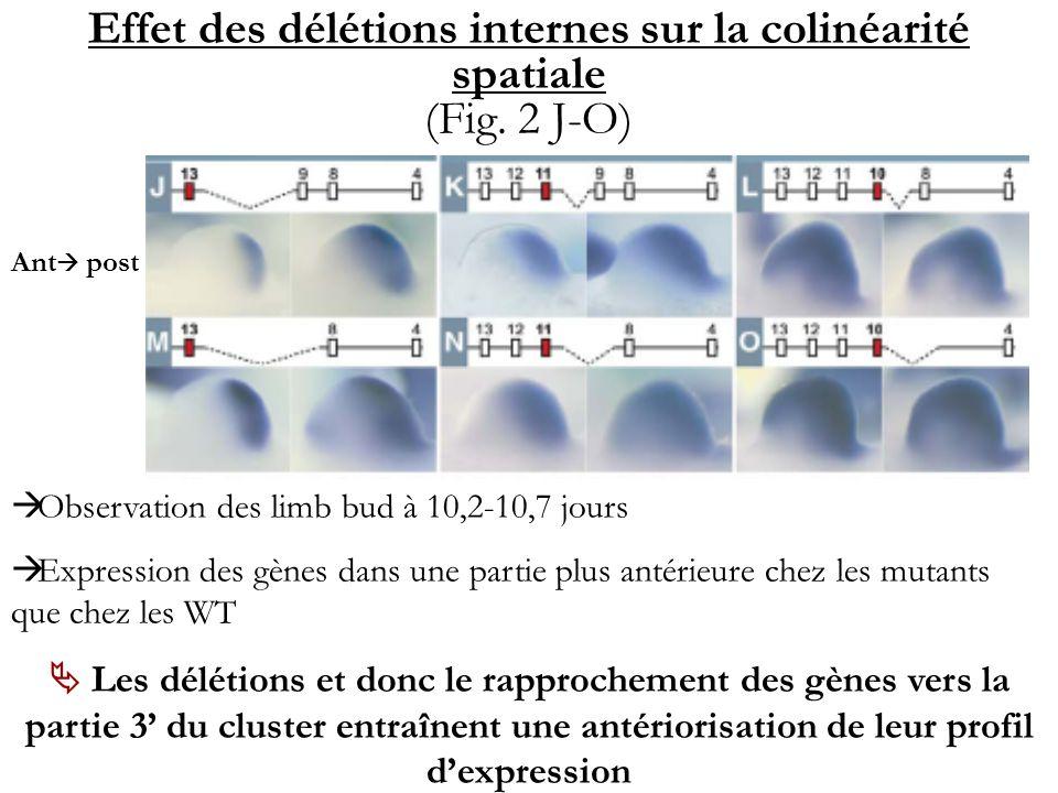 Effet des délétions internes sur la colinéarité spatiale (Fig. 2 J-O) Observation des limb bud à 10,2-10,7 jours Expression des gènes dans une partie