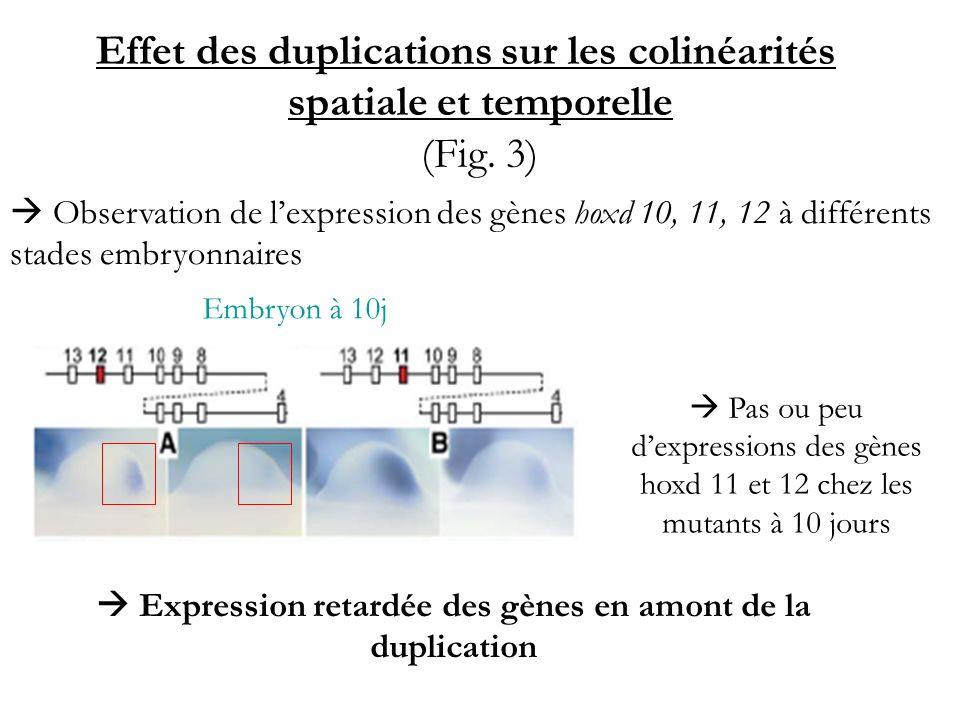 Effet des duplications sur les colinéarités spatiale et temporelle (Fig. 3) Observation de lexpression des gènes hoxd 10, 11, 12 à différents stades e