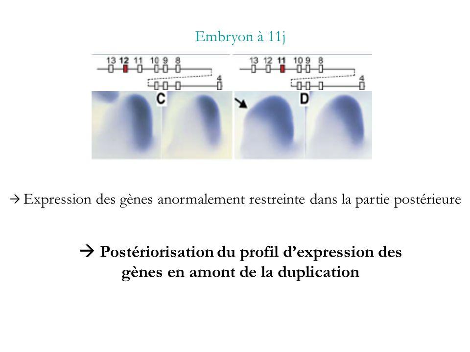 Embryon à 11j Expression des gènes anormalement restreinte dans la partie postérieure Postériorisation du profil dexpression des gènes en amont de la