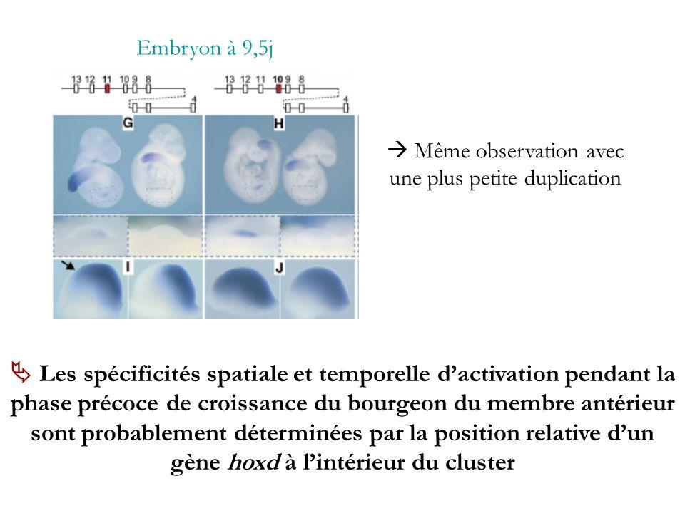 Embryon à 9,5j Même observation avec une plus petite duplication Les spécificités spatiale et temporelle dactivation pendant la phase précoce de crois