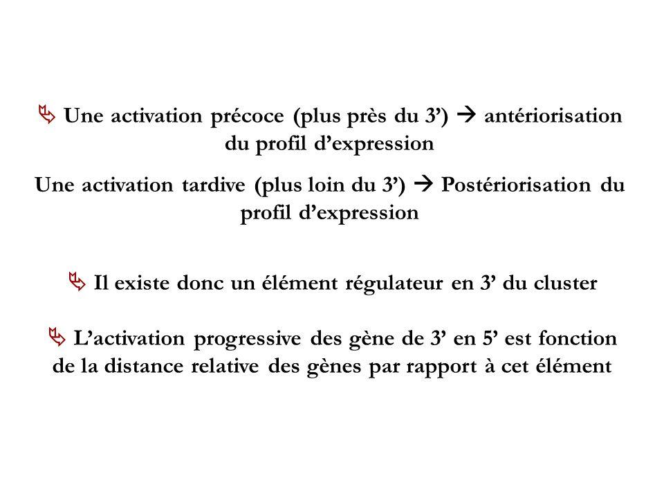 Une activation précoce (plus près du 3) antériorisation du profil dexpression Une activation tardive (plus loin du 3) Postériorisation du profil dexpr