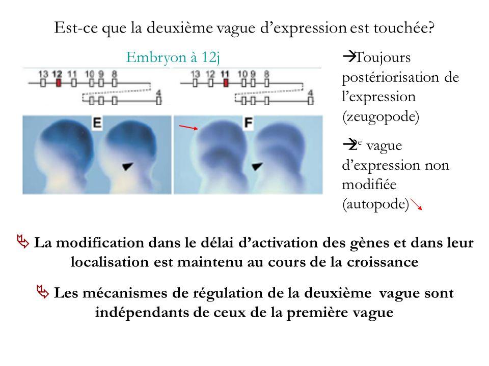 Est-ce que la deuxième vague dexpression est touchée? Embryon à 12j Toujours postériorisation de lexpression (zeugopode) 2 e vague dexpression non mod