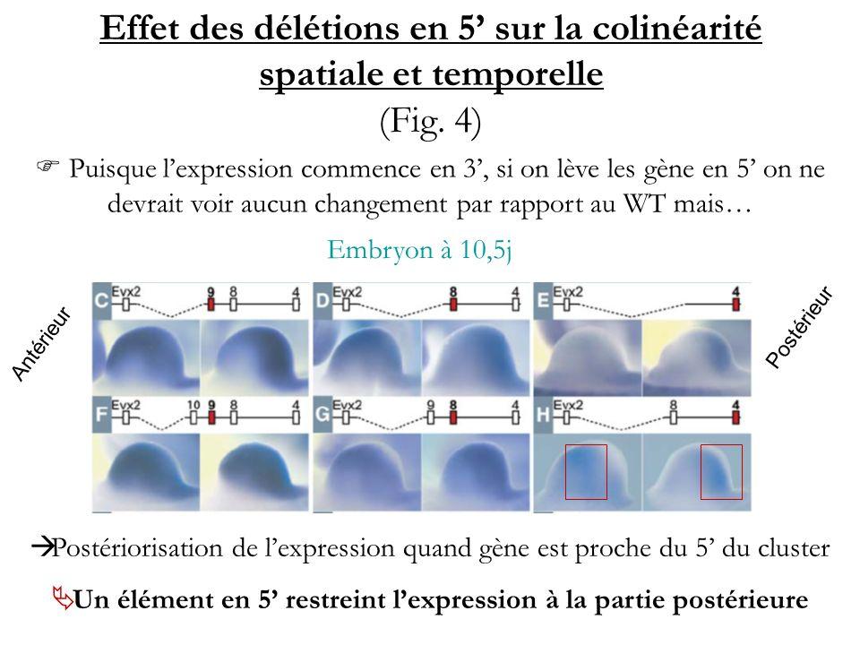 Effet des délétions en 5 sur la colinéarité spatiale et temporelle (Fig. 4) Antérieur Postérieur Embryon à 10,5j Postériorisation de lexpression quand