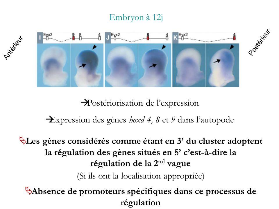 Antérieur Postérieur Embryon à 12j Postériorisation de lexpression Expression des gènes hoxd 4, 8 et 9 dans lautopode Les gènes considérés comme étant