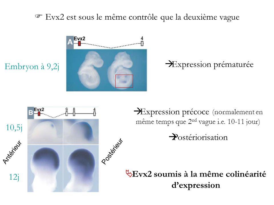 Antérieur Postérieur Embryon à 9,2j Expression prématurée Evx2 est sous le même contrôle que la deuxième vague Expression précoce (normalement en même
