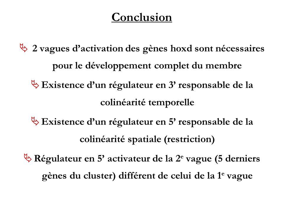 Conclusion 2 vagues dactivation des gènes hoxd sont nécessaires pour le développement complet du membre Existence dun régulateur en 3 responsable de l