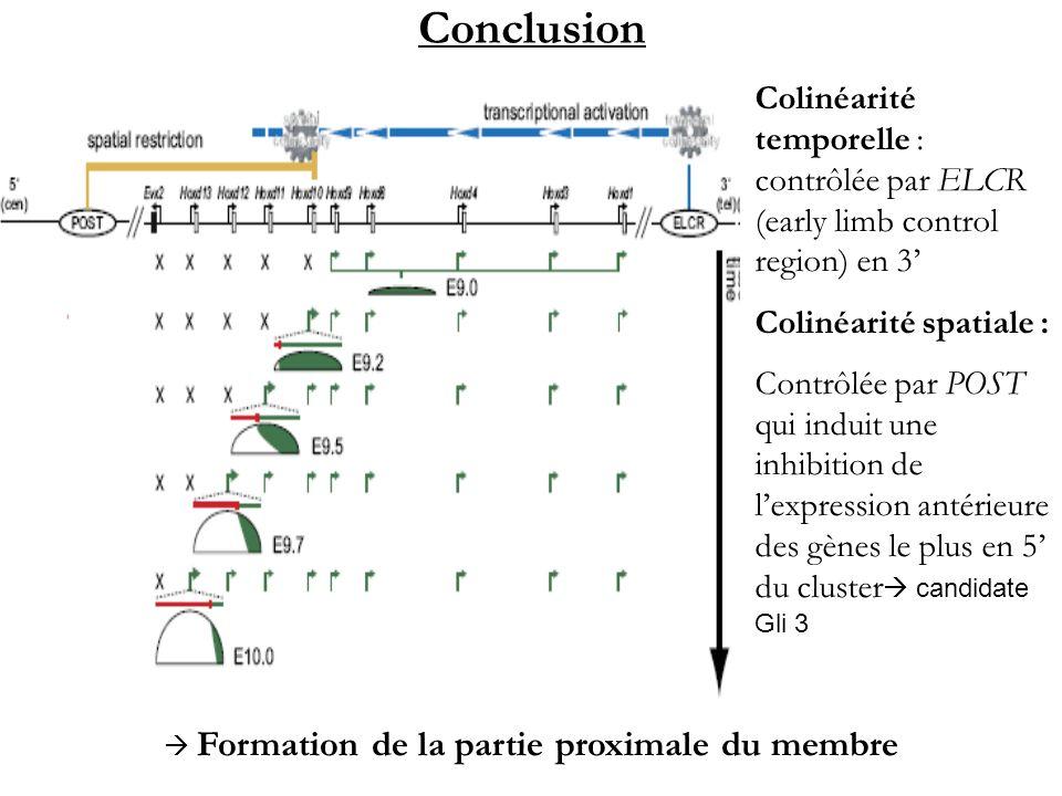 Conclusion Colinéarité temporelle : contrôlée par ELCR (early limb control region) en 3 Colinéarité spatiale : Contrôlée par POST qui induit une inhib