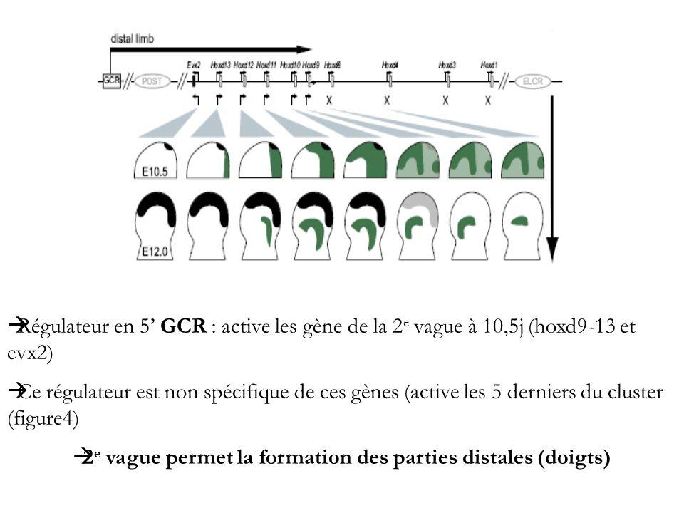 Régulateur en 5 GCR : active les gène de la 2 e vague à 10,5j (hoxd9-13 et evx2) Ce régulateur est non spécifique de ces gènes (active les 5 derniers
