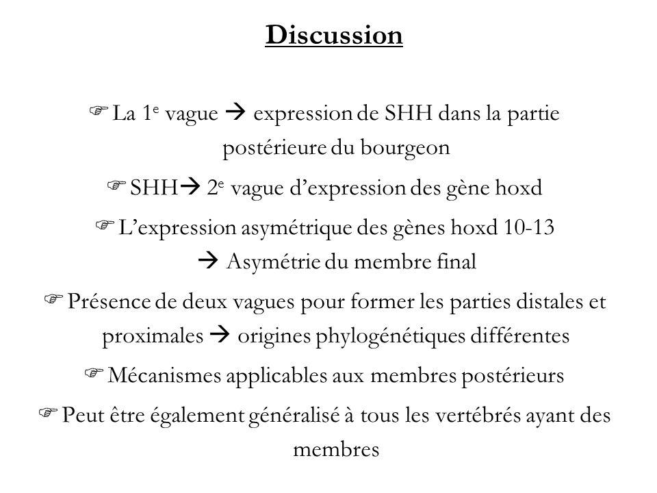 Discussion La 1 e vague expression de SHH dans la partie postérieure du bourgeon SHH 2 e vague dexpression des gène hoxd Lexpression asymétrique des g
