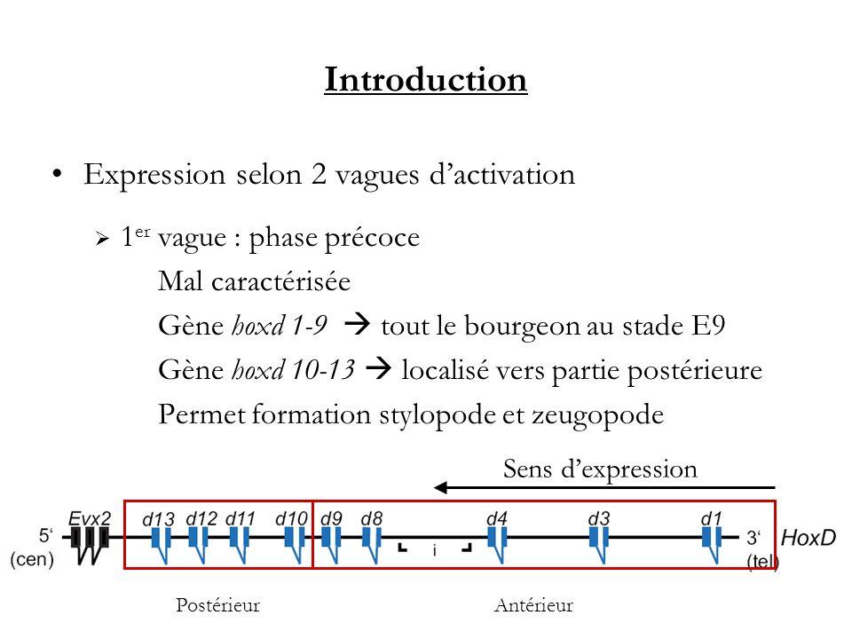Introduction Expression selon 2 vagues dactivation 1 er vague : phase précoce Mal caractérisée Gène hoxd 1-9 tout le bourgeon au stade E9 Gène hoxd 10