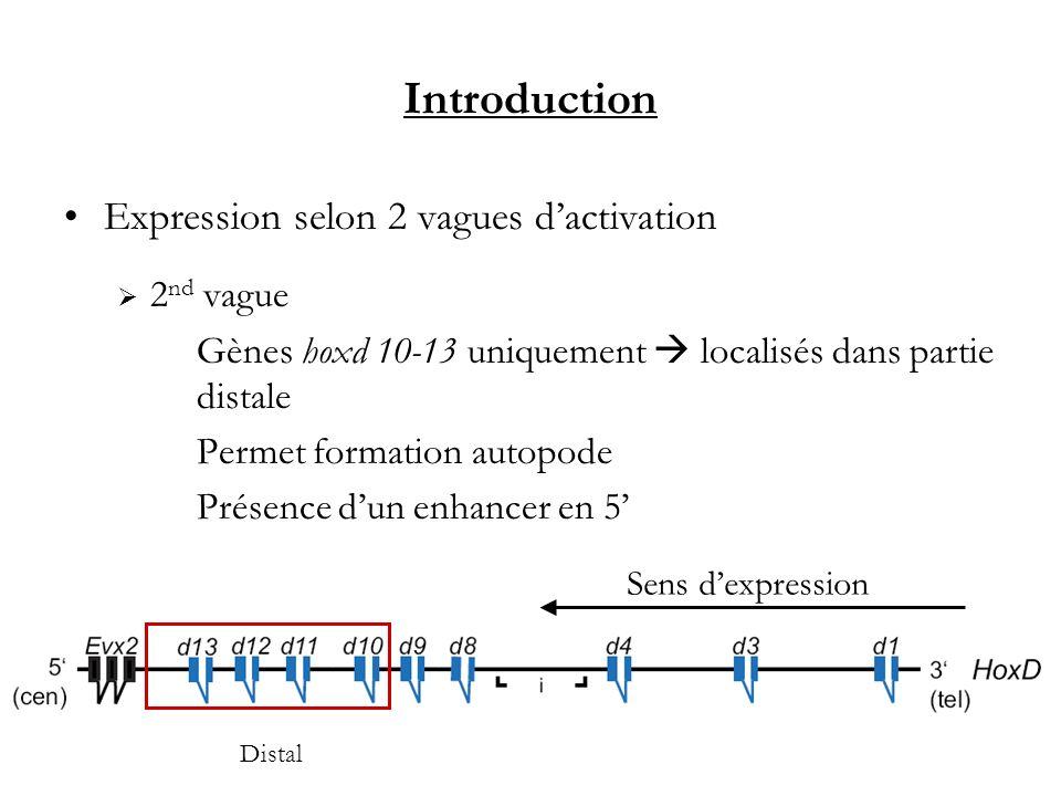 Introduction Expression selon 2 vagues dactivation 2 nd vague Gènes hoxd 10-13 uniquement localisés dans partie distale Permet formation autopode Prés