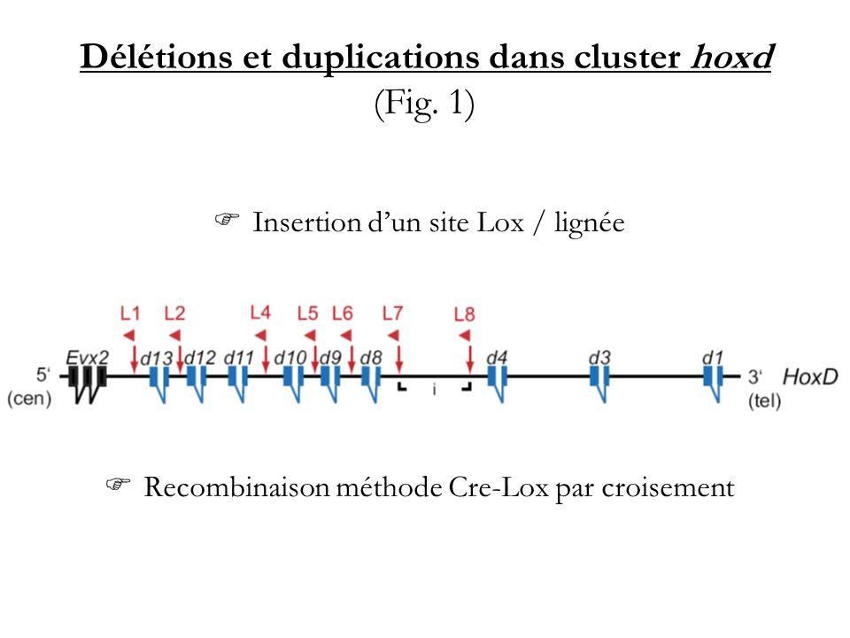 Délétions et duplications dans cluster hoxd (Fig. 1) Insertion dun site Lox / lignée Recombinaison méthode Cre-Lox par croisement