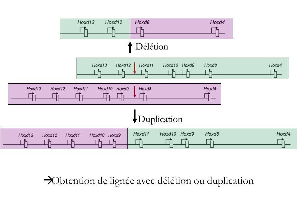 Obtention de lignée avec délétion ou duplication Délétion Duplication