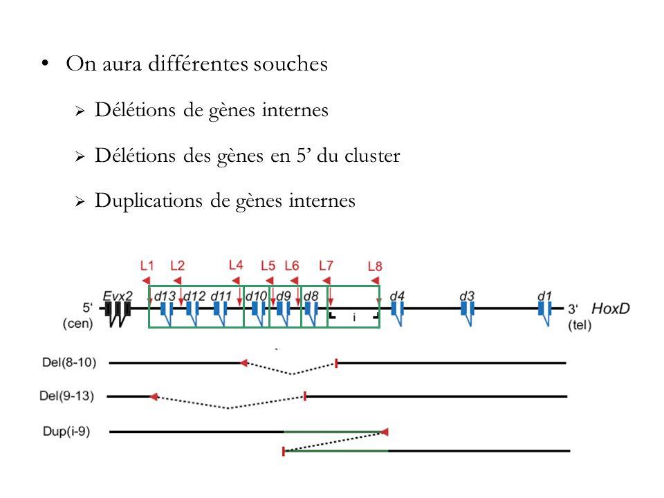 On aura différentes souches Délétions de gènes internes Délétions des gènes en 5 du cluster Duplications de gènes internes