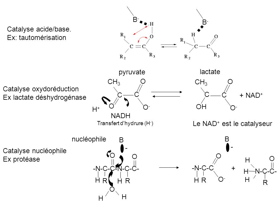 B-B- B-B- Catalyse acide/base. Ex: tautomérisation Catalyse oxydoréduction Ex lactate déshydrogénase C C O CH 3 O O-O- C C OH CH 3 O O-O- + NAD + H+H+