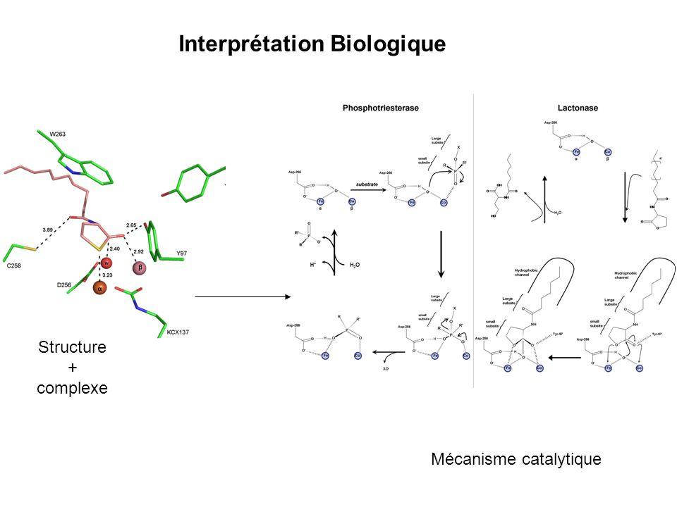 Interprétation Biologique Structure + complexe Mécanisme catalytique