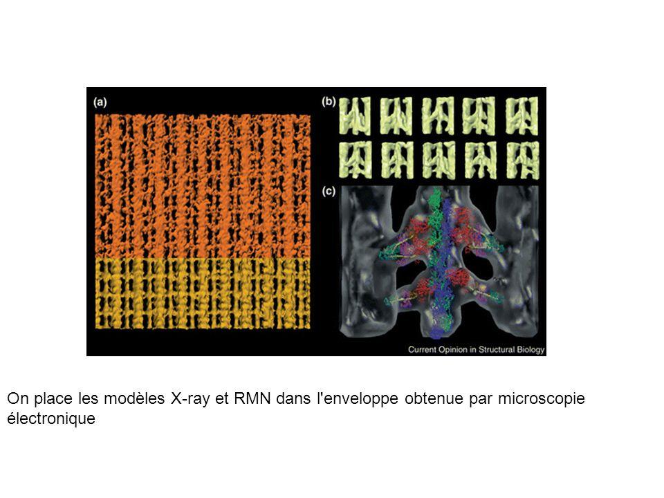 On place les modèles X-ray et RMN dans l'enveloppe obtenue par microscopie électronique