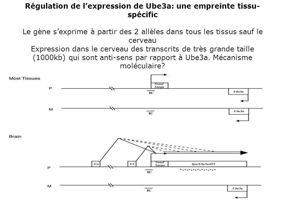 Régulation de lexpression de Ube3a: une empreinte tissu- spécific Le gène sexprime à partir des 2 allèles dans tous les tissus sauf le cerveau Express